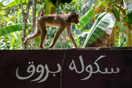"Long-tailed macaque crawls on the signboard reads ""Monkey School"" in Kota Bharu, Kelantan on April 22, 2017. The Malaysian Insight/Seth Akmal"